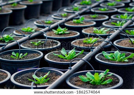 the seedling are growing from the rich soil In a hose type drip irrigation system, seedling, cultivation. agriculture, horticulture. Foto stock ©