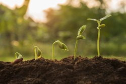 the seedling are growing from the rich soil to the morning sunlight that is shining, seedling, cultivation. agriculture, horticulture. plant growth evolution from seed to sapling, ecology concept.