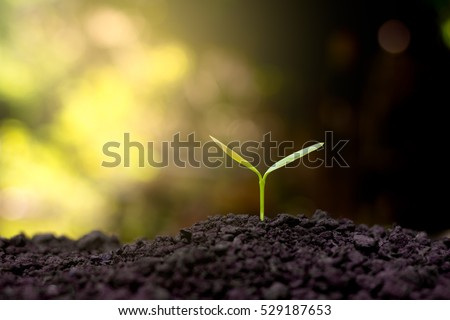 The seedling are growing in the soil. #529187653