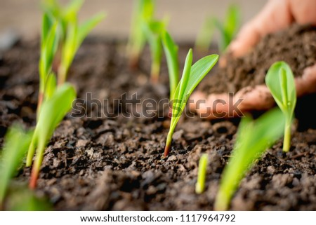 The seedlings of corn are growing from the fertile soil, concept of agriculture.