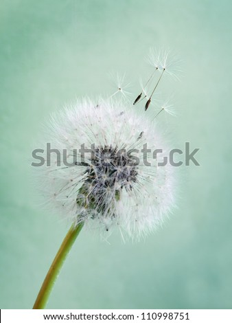 The seeds which are flying away from a dandelion