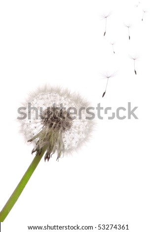 The seeds which are flying away from a dandelion on a white background
