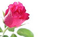 The selective focus image of a charming and posh single fashion fuchsia fresh isolated pink rose with droplets on horizontal white background with copy space for social media and advertisements.