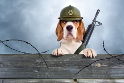 The sentry dog in a helmet very attentively observes