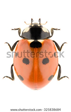 The seven-spot ladybird Coccinella septempunctata isolated on white background, dorsal view