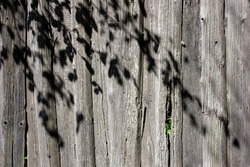 The shadow of the tree branches on the fence. Old boards on the fence around the garden. On a sunny day, shadows from branches on vertical boards of the fence.