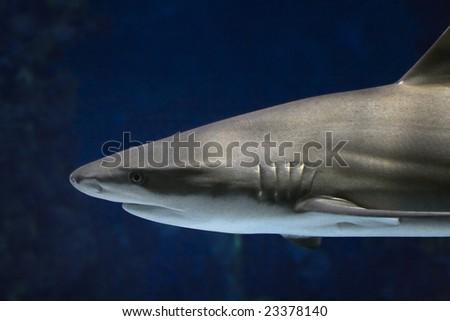 The shark floating in an oceanarium of Barcelona - stock photo