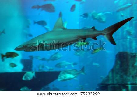 The shark in an aquarium. Dubai, Emirates.