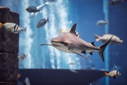 The Shark swimming in large aquarium