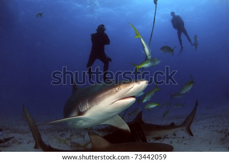 The sharks of Tiger Beach, Bahamas