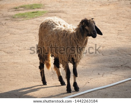The sheep are four-legged animals, ruminants and mammals. #1442263184