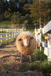The sheep out of the fence is looking at me, blocking the way.