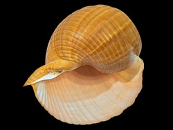 The Shell of the Land Gastropod Mollusk Achatina Fulica (Latin Name). Isolated On Black Background