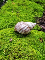 The shell of the shell on the rock is mossy and wet, the green moss looks attractive
