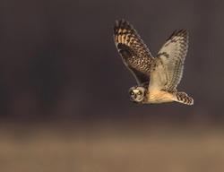 The short-eared owl is a species of typical owl. Owls belonging to genus Asio are known as the eared owls, as they have tufts of feathers resembling mammalian ears. These ear tufts may or may not be v