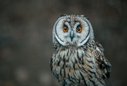 The short-eared owl is a species of typical owl. Owls belonging to genus Asio are known as the eared owls, as they have tufts of feathers resembling mammalian ears.