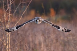 The short-eared owl is a widespread grassland species in the. Owls belonging to genus Asio are known as the eared owls, as they have tufts of feathers resembling mammalian ears.
