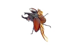 The Siamese rhinoceros beetle (Xylotrupes gideon) or fighting beetle, It is particularly known for its role in insect fighting in Thailand. Awesome pets / exotic pets from Asia. Flying beetle.