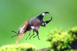 The Siamese rhinoceros beetle (Xylotrupes gideon) or fighting beetle, It is particularly known for its role in insect fighting in Thailand. New trend of Awesome pets / Popular exotic pets from Asia.