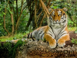 The Siberian tiger is a tiger of a certain population Subspecies Panthera tigris tigris, native to the far reaches of Russia  And perhaps North Korea.He traveled throughout the Korean Peninsula, north