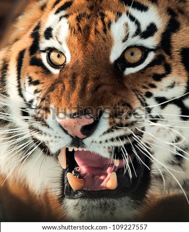 The Siberian tiger (Panthera tigris altaica) close up portrait.