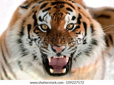 The Siberian tiger (Panthera tigris altaica) close up portrait. #109227572