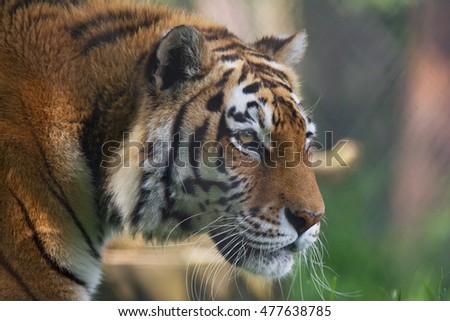 The Siberian tiger (Panthera tigris altaica) close up portrait. #477638785
