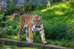 The Siberian tiger,Panthera tigris altaica is the biggest cat in the world