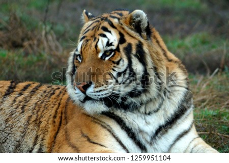 The Siberian tiger ( Panthera tigris altaica ) is the biggest cat in the world  #1259951104