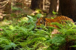 The Siberian tiger (Panthera tigris tigris),also called Amur tiger (Panthera tigris altaica) on a meadow. Young female amur tiger tiger lurking in the green with forest so background.