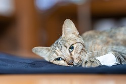 The sick cat lay weakly on the blue cloth, it gaze stared out in motion. Cat's Health Concept. Soft focus.
