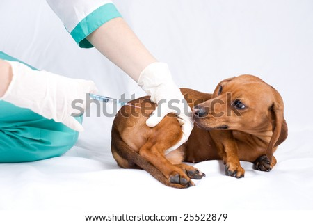 The sick dog and syringe, injection