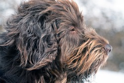 the side portrait of a hunting dog, pudelpointer, on a windy day