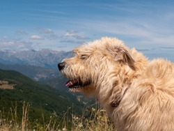 The side profile of a hairy beige dog against a scenic mountain range landscape