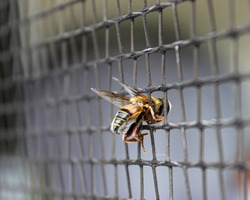 The side view of a perfectly preserved Hover Fly stuck hanging around in between the wire mesh of a pool fence