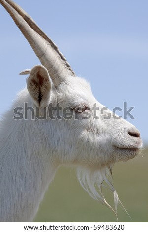 The side view of a white goat - stock photo