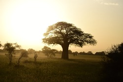 The silhouette of a Baobab tree in the savannah