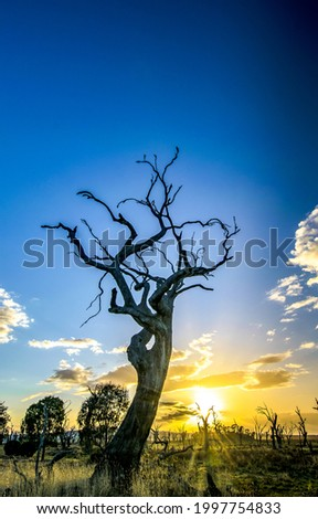The silhouette of a lonely tree at dawn. Dead dry tree at dawn Lonely dead dry tree at dawn. Dead dry tree at dawn scene
