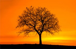 The silhouette of a lonely tree at sunset. Orange sunset lonely tree silhouette. Tree silhouette at orange sunset. Sunset tree