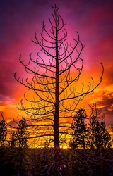 The silhouette of a tree against the background of a crimson sunset. Crimson sunset. Sunset tree silhouette. Crimson sunset tree silhouette