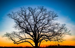 The silhouette of a tree at sunset. Sunset tree silhouette. Sunset tree. Tree at sunset