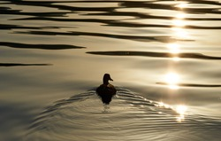 The silhouette of duck in a water at the sunset. High quality photo