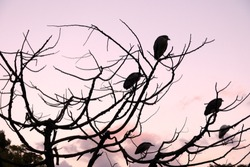 The silhouette of Osprey and Egret birds perched on top of a leafless tree against purple sky in the winter of Taiwan.