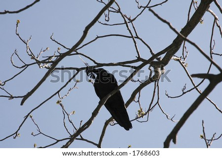 The silhouette of the carrion-crow on the tree in blue and black colors