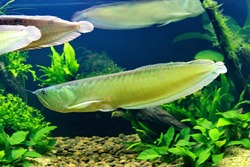 The silver arowana (Osteoglossum bicirrhosum), is a South American freshwater fish. Silver arowanas are sometimes kept in aquariums, but they are predatory and require a very large tank.