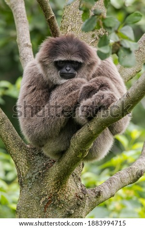 The silvery gibbon (Hylobates moloch). Adult primate sleeping on the branches of a tree. Middle size monkey with long tail, full silver color, black face. Indonesia. Java.  Photo stock ©