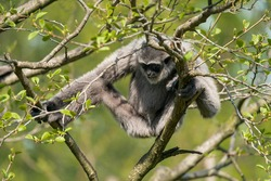 The silvery gibbon (Hylobates moloch), also known as the Javan gibbon, is a primate in the gibbon family Hylobatidae. It is endemic to the Indonesian island of Java, where it inhabits rainforests.