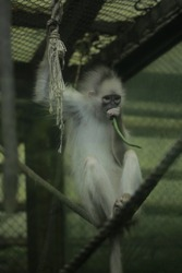 The silvery lutung (Trachypithecus cristatus), also called silvered leaf monkey or silvery langur. It is arboreal, living in coastal, mangrove, and riverine forests in Malaysia, Sumatra and Borneo
