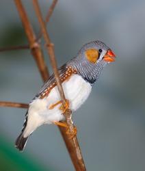The singing zebra-finch on a branch close up (Taeniopygia guttata)