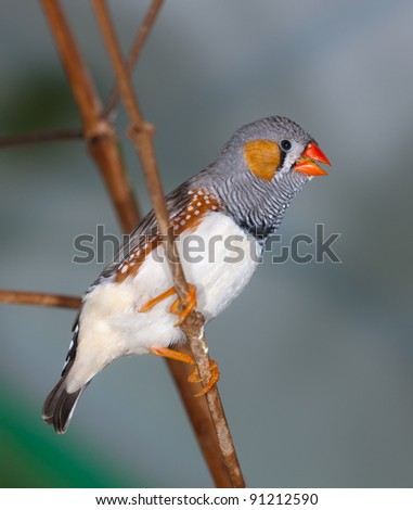 The singing zebra-finch on a branch close up (Taeniopygia guttata)